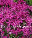 "Флокс шиловидный ""Atropurpurea"""