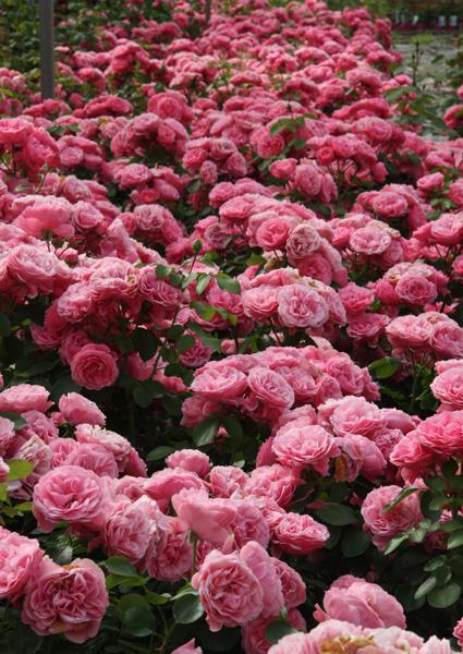 роза леонардо да винчи фото