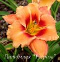 "Лилейник ""Apricot Beauty"" (Hemerocallis)"