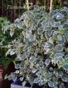 """Гортензия черешковая (плетистая)  (Hydrangea anomala subsp. petiolaris ) """"Silver Lining""""  (Сильве Лайнин)"""