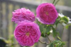 BOURBON ROSE (Бурбон Роуз)