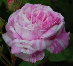 ROSA CENTIFOLIA VARIEGATA (Роза Центифолия Вариегата)