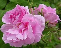 ROSA DAMASCENA TRIGINTIPETALA (Роза Дамасцена Тригинтипетала)