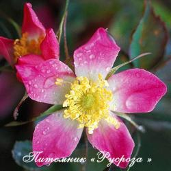 ROSA GLAUCA (Роза Глаука)