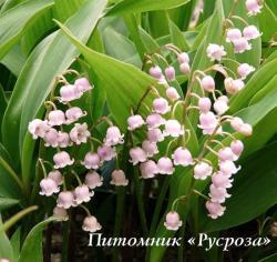 Ландыш rosea (Convallaria majalis var. rosea)