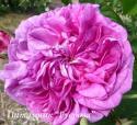 ROSE DE LA MAITRE-ECOLE  (Роз де ля Метрикол)