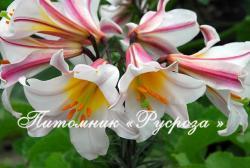 """Лилия Трубчатая """"Regale"""" (Королевская)  (Trumpet and Aurelian hybrids, L. Regale)"""