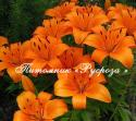 Лилия Азиатская «Orange» (Орандж)