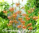 "Лилия Кудреватая ""Rose Arch Fox"" (Роуз Арк Фокс)"