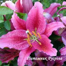"""Лилия Восточная """"DYNAMITE"""" (Динамит)"""
