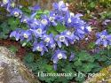 "Аквилегия ""Spring Magic Blue & White"" (Aquilegia)"