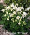 "Аквилегия ""Spring Magic White"" (Aquilegia)"