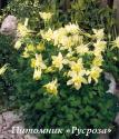 "Аквилегия ""Spring Magic Yellow"" (Aquilegia)"