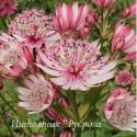 "Астранция крупная ""Sparkling Stars Pink"" (Astrantia major)"