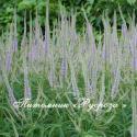 """Вероникаструм виргинский """"Lavendelturm"""" (Veronicastrum virginicum)"""