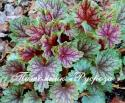 "Гейхера ""Beauty Color"" (Heuchera hybride)"