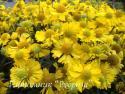 """Гелениум осенний """"Sombrero"""" (Helenium autumnale)"""