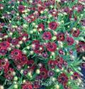 """Гелениум осенний """"Ranchera"""" (Helenium autumnale)"""