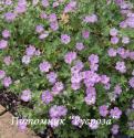 """Герань """"Mavis Simpson"""" (Geranium hybride)"""