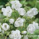 """Герань """"Laura"""" (Geranium pratense)"""