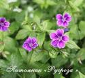 """Герань """"Clos du Coudray"""" (Geranium nodosum)"""