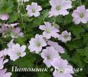 "Герань ""Dreamland"" (Geranium hybride)"