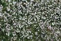 "Гипсофила ""Rosenschleier"" (Gypsophila paniculata)"