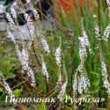 Горец свечевидный Alba (Persicaria amplexicaulis)