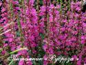 """Дербенник прутовидный """"Dropmore Purple"""" (Lythrum virgatum)"""