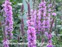"""Дербенник """"Rosy Gem"""" (Lythrum salicaria)"""