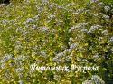 """Душица """"Thumble's Variety"""" (Origanum vulgare)"""