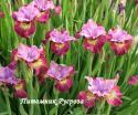 """Ирис """"Miss Apple"""" (Iris sibirica)"""