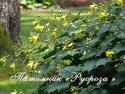 Киренгешома дланевидная (Kirengeshoma palmata)