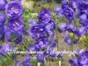 "Колокольчик персиколистиый  ""Azure Beauty"" (Campanula persicifolia)"