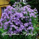 "Колокольчик молочноцветковый ""Border Blues"" (Campanula lactiflora)"