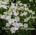 "Колокольчик карпатский ""Perla White"" (Campanula carpatica)"