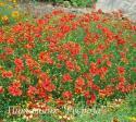 """Кореопсис мутовчатый """"Ladybird"""" (Coreopsis verticillata)"""