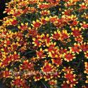 "Кореопсис мутовчатый ""Red & Gold"" (Coreopsis verticillata)"