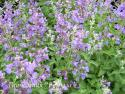 "Котовник Фассена ""Walker's Low"" (Nepeta faassenii)"