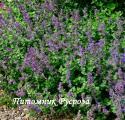 """Котовник кистевидный """"Little Titch"""" (Nepeta racemosa)"""
