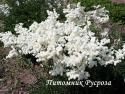 "Лабазник ""Plena"" (Filipendula vulgaris)"