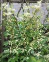 Лабазник вязолистный Variegata (Filipendula ulmaria Variegata )