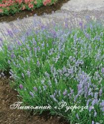 """Лаванда """"Blue Cushion"""" (Lavandula angustifolia)"""