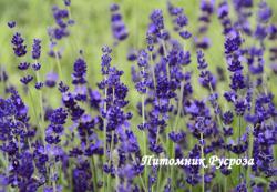 """Лаванда """"Blue Gien"""" (Lavandula angustifolia)"""