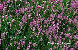 """Лаванда """"Loddon Pink"""" (Lavandula angustifolia)"""