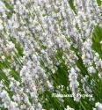 "Лаванда ""Nana Alba"" (Lavandula angustifolia)"