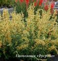 "Лофант ""Kudos Yellow"" (Agastache)"