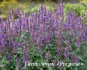 """Лофант """"Purple Haze"""" (Agastache)"""