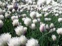 "Лук стареющий ""Elbe"" (Allium schoenoprasum)"