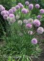 "Лук стареющий ""Pink Planet"" (Allium senescens)"